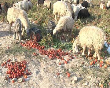 اعتراض گوجهکاران گچساران