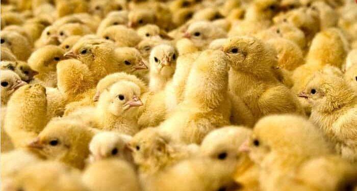 کمبود جوجه یک روزه و بازگشت صف مرغ در ماههای آینده