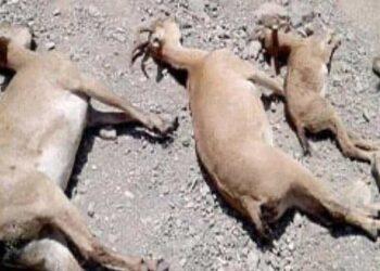 مرگ احشام اهالی بدلیل رها شدن پساب شیمیایی مجتمع پتروشیمی مسجدسلیمان