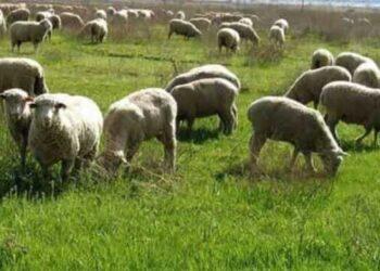 دامدار پرورش دهنده گوسفند